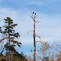 2 bald eagles perched in a dead tree