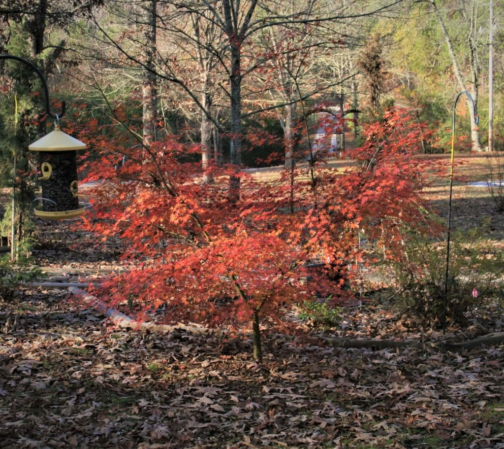 small maple tree with orange and red leaves. Yellow bird feeder hanging beside it