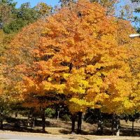 tree with yellow & orange leaves
